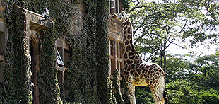 Giraffe manor 08