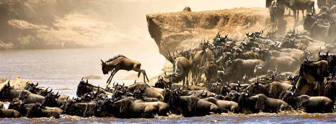 Herd of wildebeests crossing a river