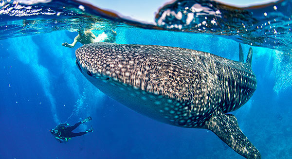 whale sharks of madagascar