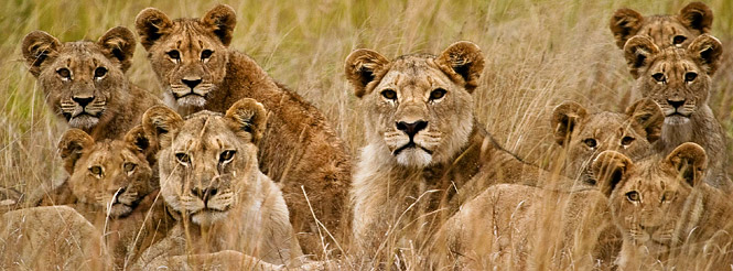 lion prides southern africa wildlife