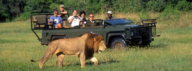 South africa tour; jeep safari; landrover; lion