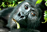 mountain gorilla tracking; uganda safari; bwindi national park