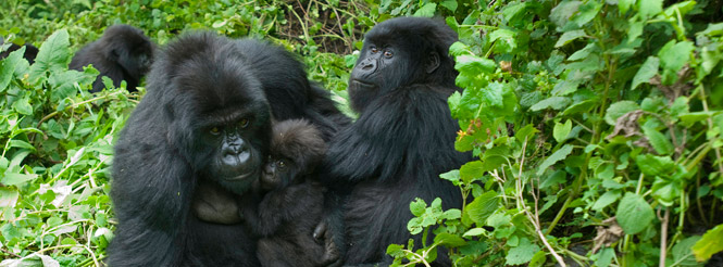 Three mountain gorillas with baby gorilla in Bwindi Impenetrable Forest in Uganda