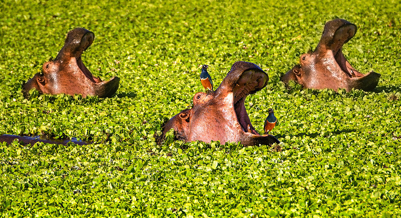 hippopotamus birds zimbabwe mana pools