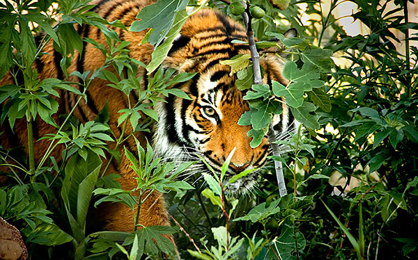india tiger hunter forest camouflage