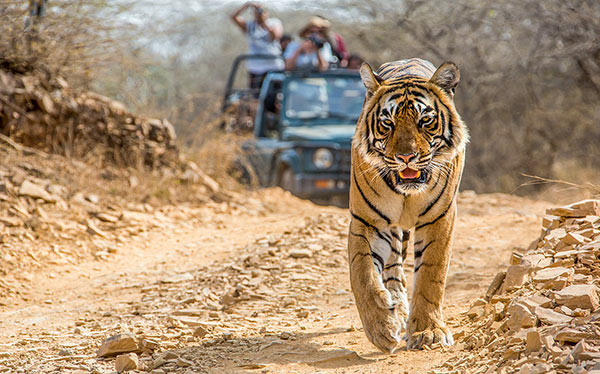 india pench tiger viewing
