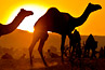 Two camels in silhouette at sunset at Pushkar, India