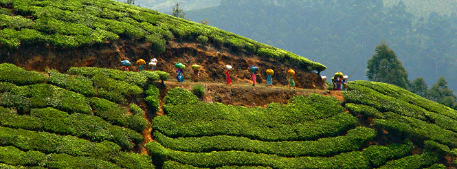 Women carrying tea in a tea plantation in Sikkim, India