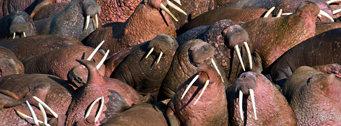 walrus colony in the bering sea