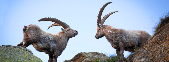 two ibexes on rocky peaks in the French Alps