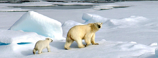 polar bear and polar bear cub on pack ice in Greenland