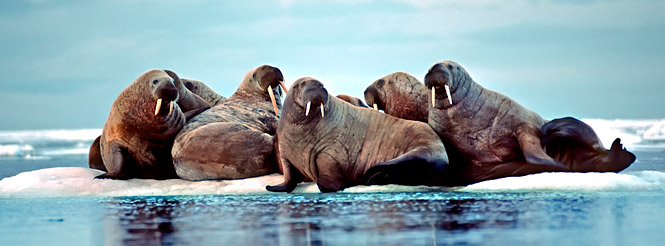 Five walruses on an ice floe in Spitzbergen