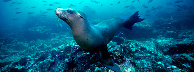 galapagos islands snorkeling; galapagos yacht tours; sea lion