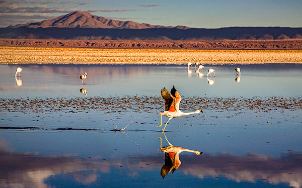 flamingoes salt lake salar de atacama desert chile 108914482
