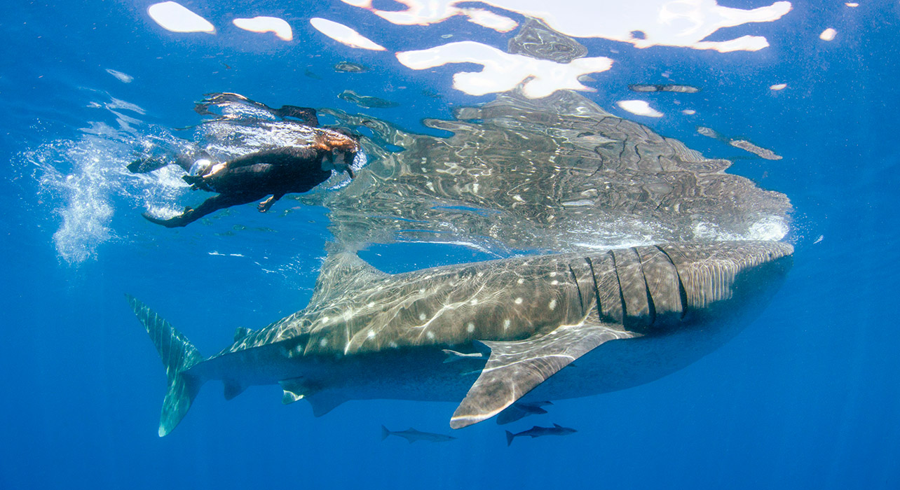 Half-day Whale Shark Swim