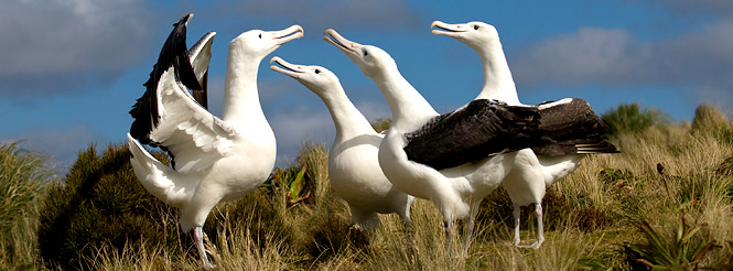Four albatross on a breeding ground in the Subantarctic region