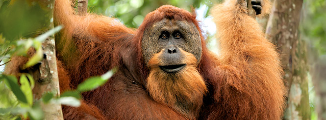 orangutan at a wildlife reserve in Borneo