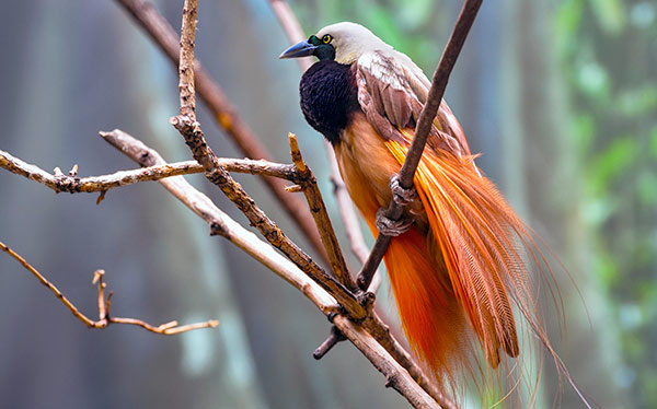 papua new guinea bird of paradise