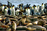 colony of king penguins and seals in South Georgia Island